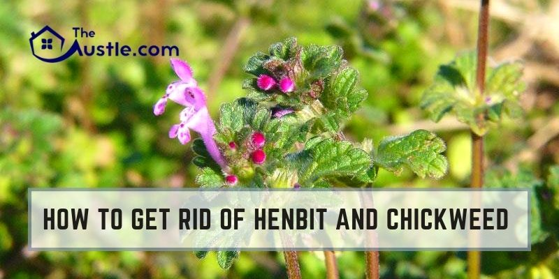 How To Get Rid Of Henbit And Chickweed