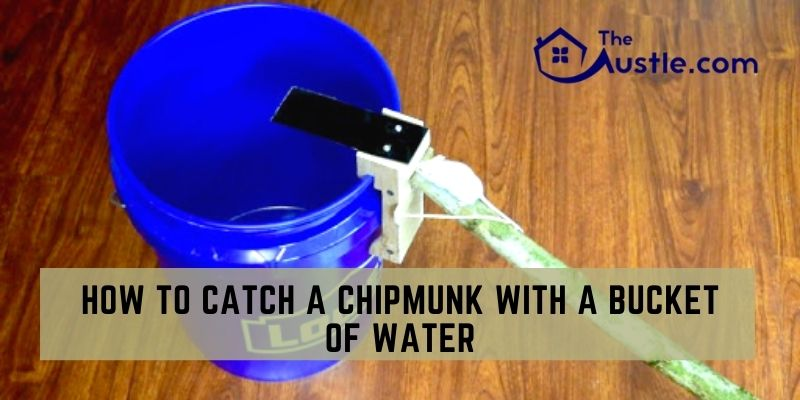 How To Catch A Chipmunk With A Bucket Of Water