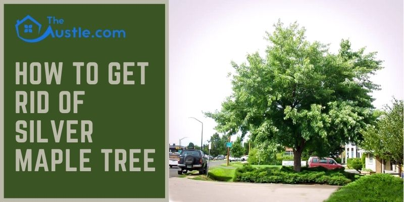 How to Get Rid of Silver Maple Tree